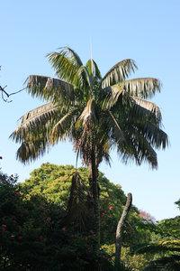 Kentiapalm (Howea forsteriana)