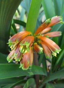 Moerasclivia (Clivia robusta)