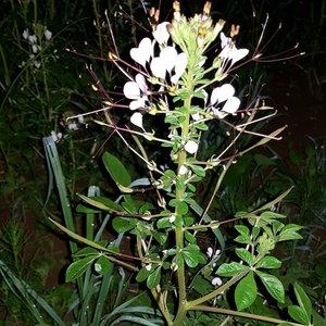 Afrikaanse spinbloem (Cleome gynandra)