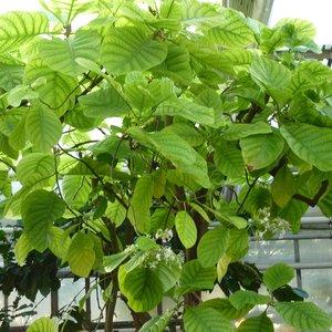 Kinaboom (Cinchona officinalis)