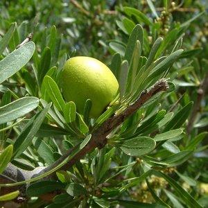 Argan (Argania spinosa)