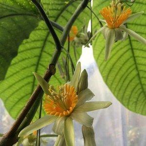 Boompassiebloem (Passiflora macrophylla)
