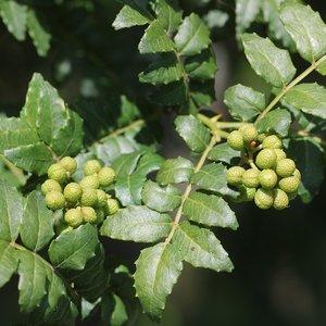 Japanse peperboom (Zanthoxylum piperitum)