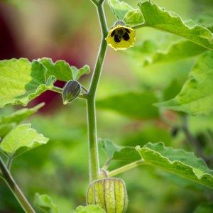 Incabes (Physalis peruviana)