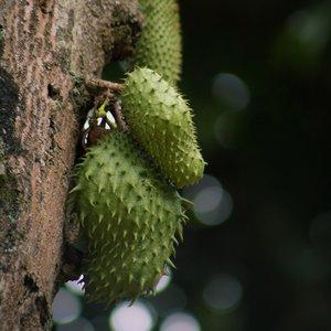 Zuurzak (Annona muricata)