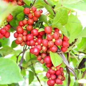 5-smaken-bes (Schisandra chinensis)
