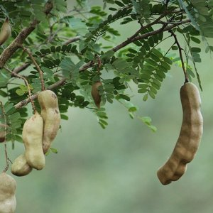 Tamarinde (Tamarindus indica)
