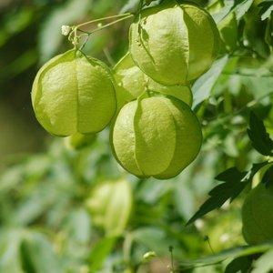 Ballonplant (Cardiospermum halicacabum)
