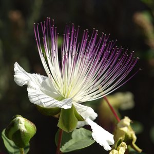 Kappertjesplant (Capparis spinosa)