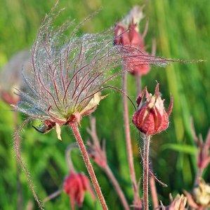 Prairierook (Geum triflorum)