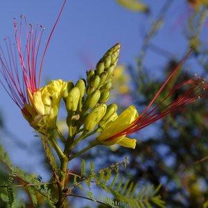 Paradijsvogelstruik (Caesalpinia gilliesii)