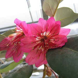 Hong Kong-roos (Rhodoleia championii)