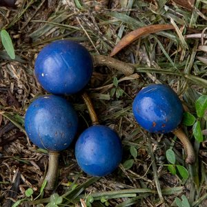 Blauwe quandong (Elaeocarpus angustifolius)