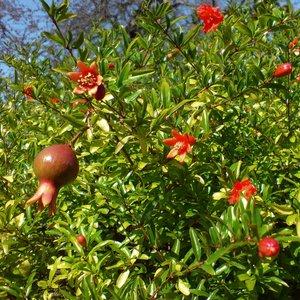 Dwerggranaatappel (Punica granatum 'nana')
