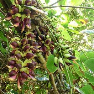 Saba Ling (Mucuna macrocarpa)