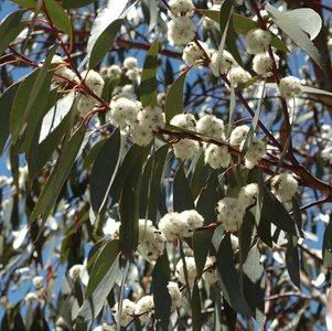 Sneeuweucalyptus (Eucalyptus pauciflora ssp. pauciflora)