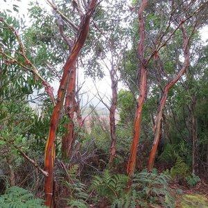 Tasmaanse eucalyptus (Eucalyptus coccifera)