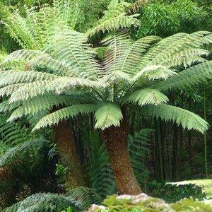 Tasmaanse boomvaren (Dicksonia antarctica)