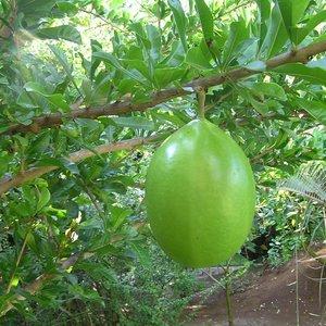 Kalebasboom (Crescentia cujete)