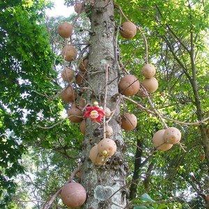 Kanonskogelboom (Couroupita guianensis)