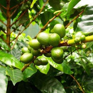 Catura koffie (Coffea arabica 'catura')