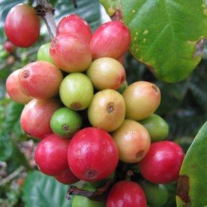 Dwergkoffie (Coffea arabica 'nana')