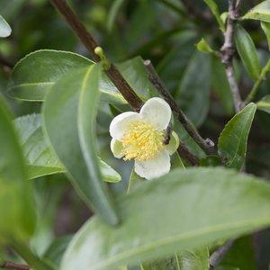 Theeplant (Camellia sinensis)