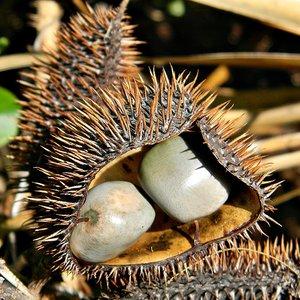 Grijze knikkernoot (Caesalpinia bonduc)