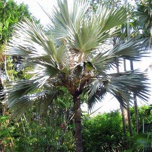 Blauwe latanpalm (Latania loddigesii)