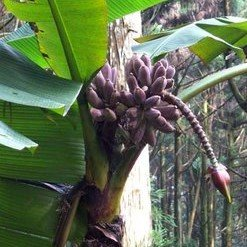 Taiwanese banaan (Musa itinerans var. formosana)