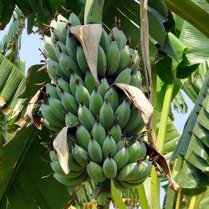 Dwergbanaan (Musa acuminata)