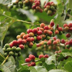 Arabica koffie (Coffea arabica)