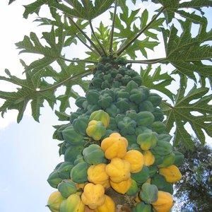 Bergpapaja (Carica pubescens)