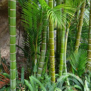 Moso reuzenbamboe (Phyllostachys edulis)