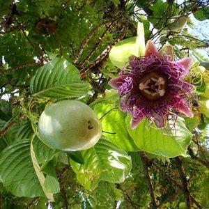 Reuzenpassiebloem (Passiflora quadrangularis)