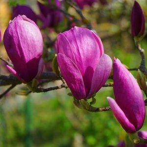 Paarse magnolia (Magnolia liliiflora)