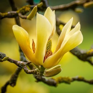 Komkommermagnolia (Magnolia acuminata)