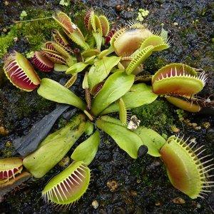 Venus vliegenval (Dionaea muscipula)