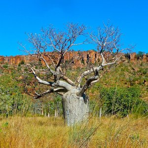 Flessenboom (Brachychiton rupestris)