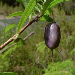 Paarse appelbes (Billardiera longiflora)