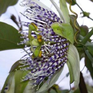 Passiebloem (Passiflora actinia)