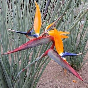 Gespeerde paradijsvogelbloem (Strelitzia juncea)