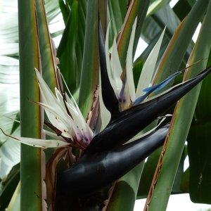 Natal paradijsvogelbloem (Strelitzia nicolai)
