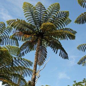 Zwarte boomvaren (Cyathea medullaris)