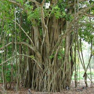 Wurgvijg (Ficus benghalensis)