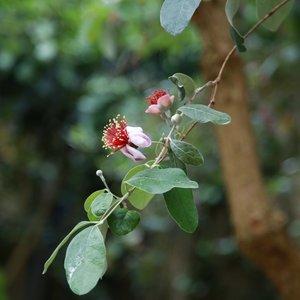 Ananasguave (Feijoa sellowiana)