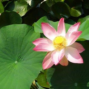 Indische lotus (Nelumbo nucifera)