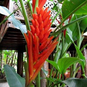 Rode sierbanaan (Musa coccinea)