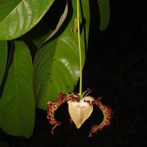 Kalebasmuskaatnoot (Monodora myristica)