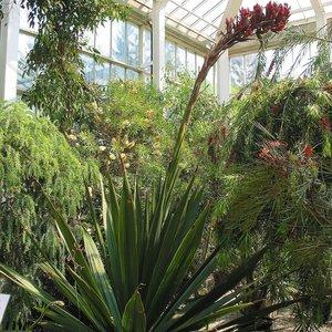 Reuzenspeerbloem (Doryanthes palmeri)